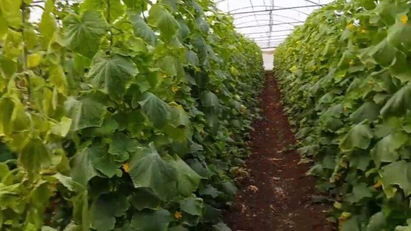 زراعة الكوسة في البيوت المحمية