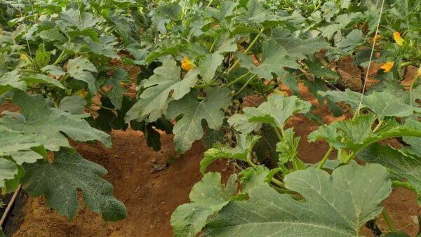 عوامل نجاح زراعة الكوسة في البيوت المحمية