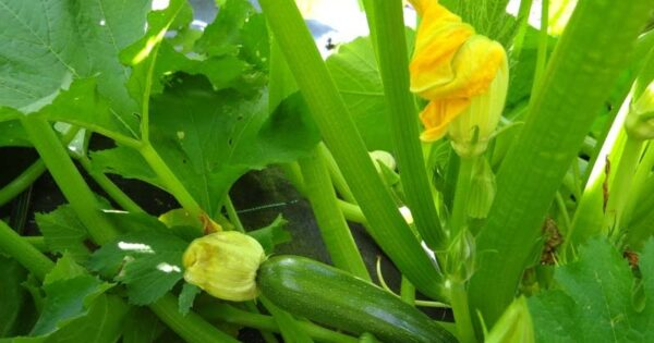 كيفية زراعة الكوسة في البيوت المحمية